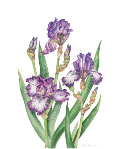 Iris  germanica 'Double shot'
