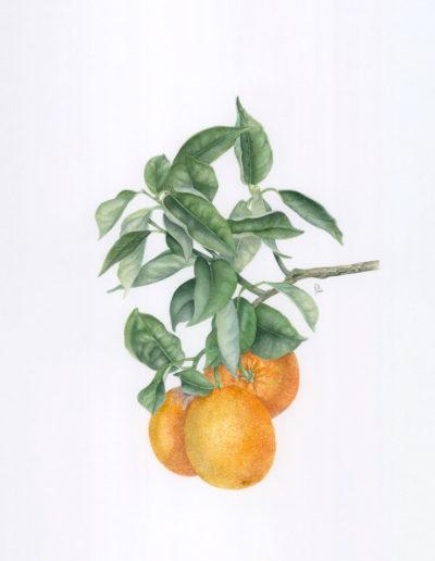 Arancio dolce cv. 'Belladonna'