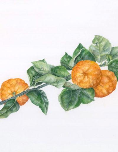 Arancio dolce Cv. Tarocco 'ingannaladri', ecotipo